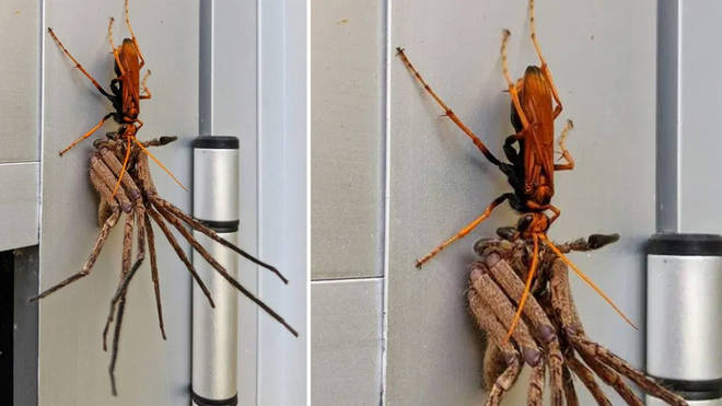 A photo has gone viral of a wasp eating a spider