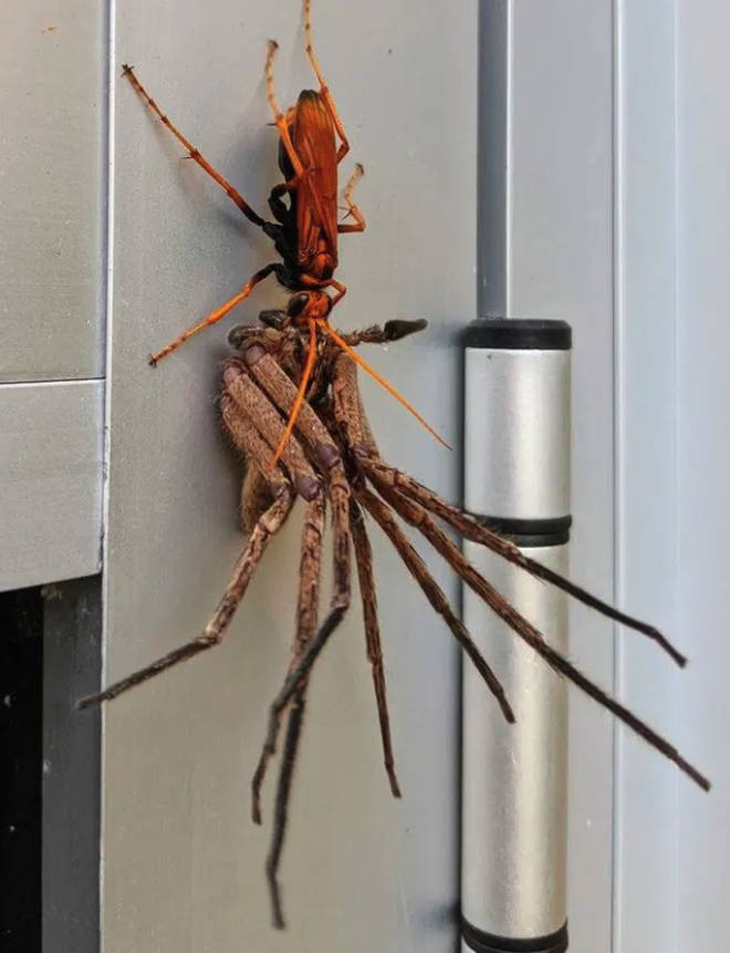 A wasp can be seen killing a spider