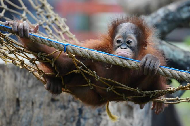 Chimpanzees, gorillas and orangutans perished in the fire.
