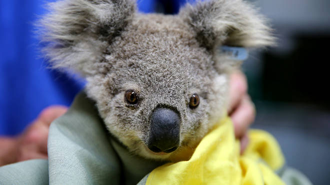 Koala hospitals have been working hard to save animals injured in the fires.