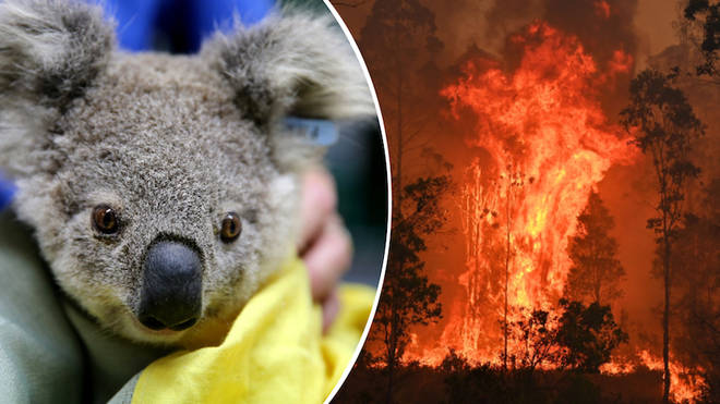 Experts say koalas rescued from bushfires can't be released back into the wild.
