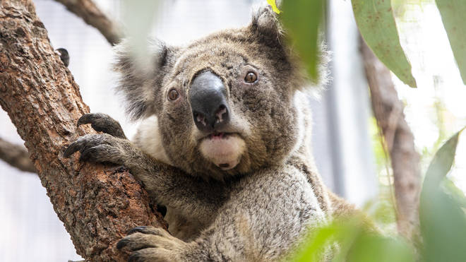 Millions of koalas have been tragically killed in the Australian bushfires
