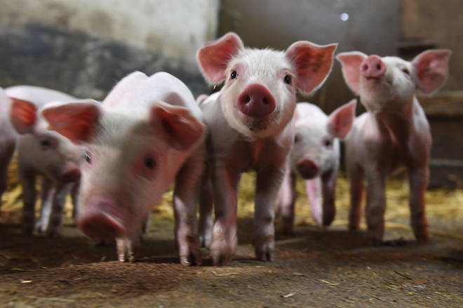 Cotton Branch Farm Sanctuary is on the hunt for a caring team of 'piggy cuddlers'.