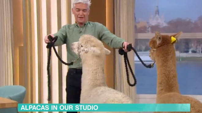 One of the alpacas, Paul, spat in Phil's face
