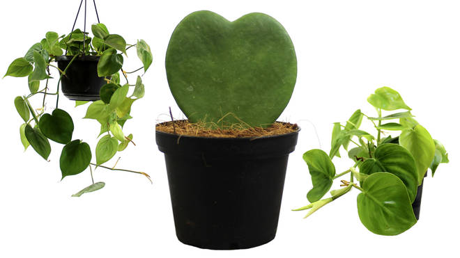 Love Heart plants by Root, from £4