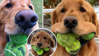 The clever dog can fit half a dozen balls into his slobbery mouth.