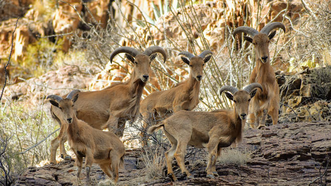 10 Barbary sheep were also killed in the incident (stock image)
