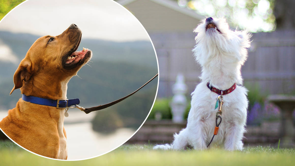 Dog collar will translate your pet's barks into swear words