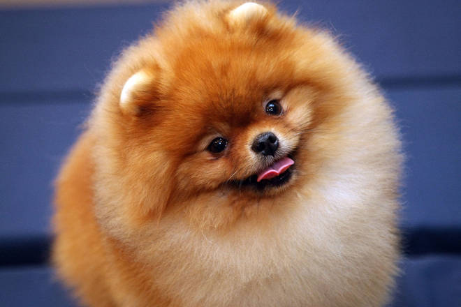 "A Pomeranian has tested ""weak positive"" for coronavirus."