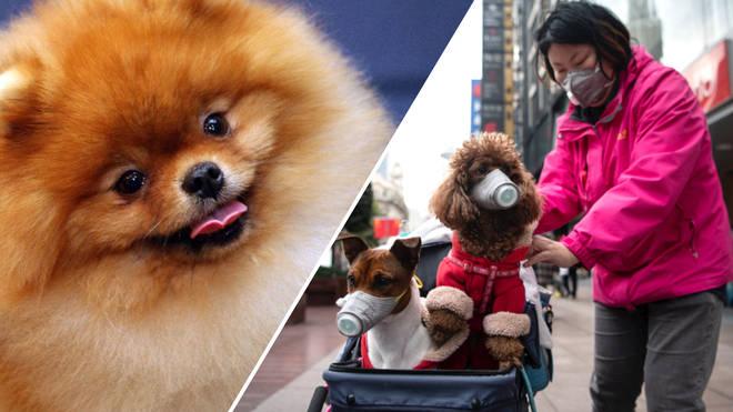A Pomeranian dog has tested positive for the killer bug.