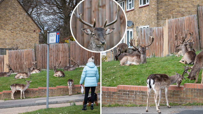 The area in East London has seen deer come and settle in the residential areas