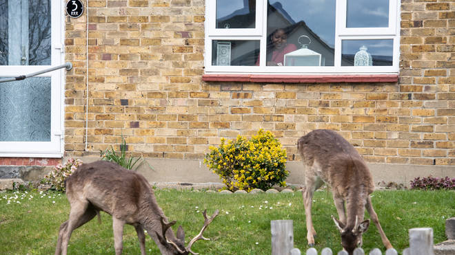 The deer have been making themselves at home, regularly grazing on the grass in front of people's houses