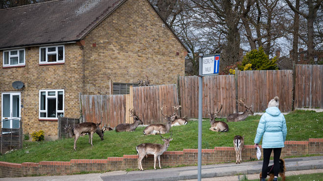 The deer have settled in as the lockdown keeps streets quiet