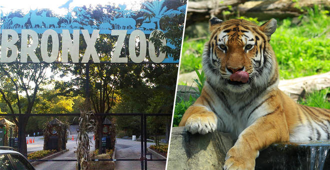 A tiger has tested positive for coronavirus