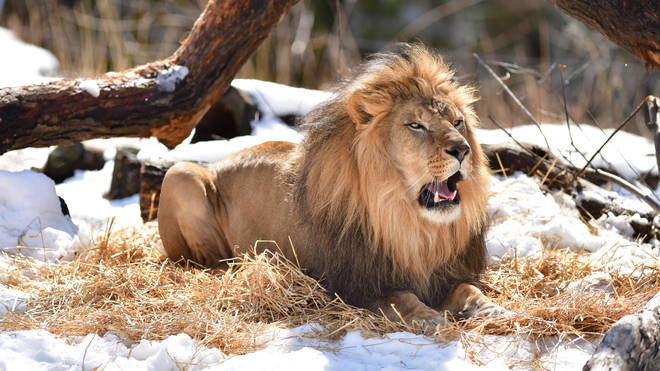 Three African lions are also showing symptoms of COVID-19