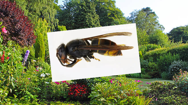 The 'murder hornet' can kill in just one sting