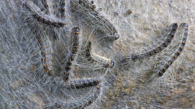 We are currently in the 'greatest risk period' of the Oak Processionary Moth