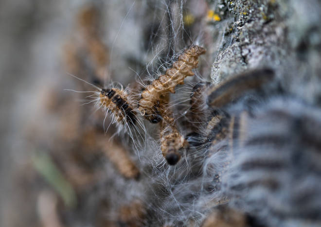 In 2019, there were reported sightings of the caterpillars in Cambridgeshire, Hertfordshire, Essex and Lincolnshire