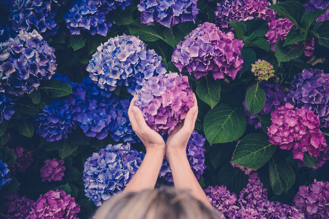 The results found that hydrangeas was the favourite outdoor plant, bringing in a vote of 78 per cent