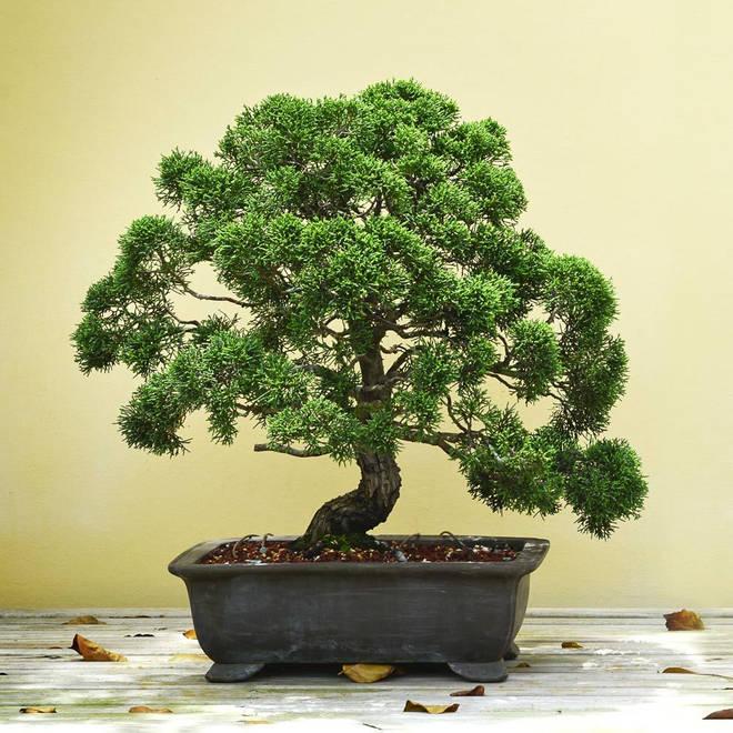 Grow your own Bonsai Tree