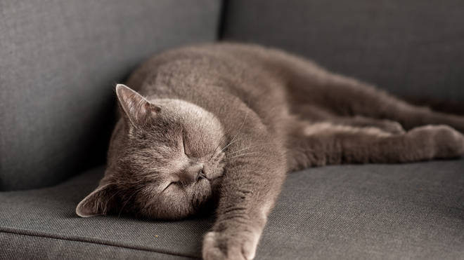The cat is the first confirmed case of coronavirus in a pet in the UK (stock image)