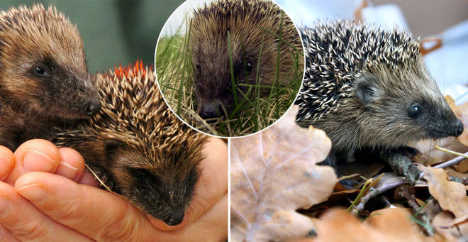 Hedgehogs are vulnerable to extinction