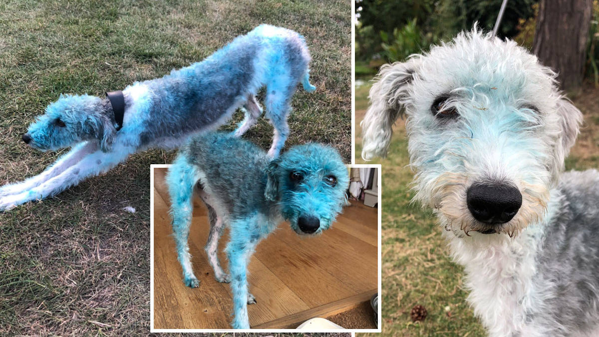 Dog turns blue after rolling in freshly painted art left in the sun to dry