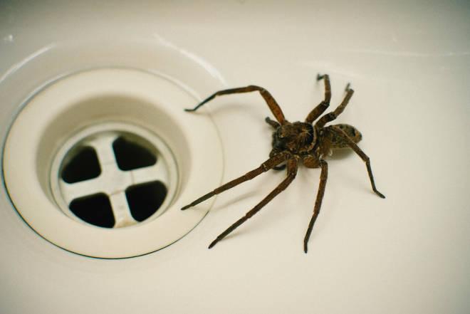 Spider season brings the creepy crawlies inside