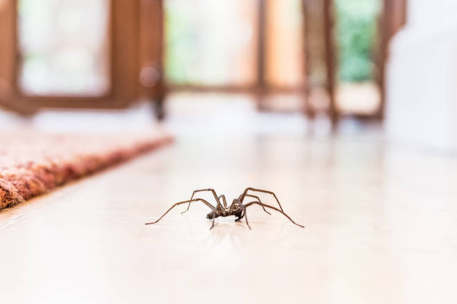 During spider season, male arachnids come indoors in search for a female mate