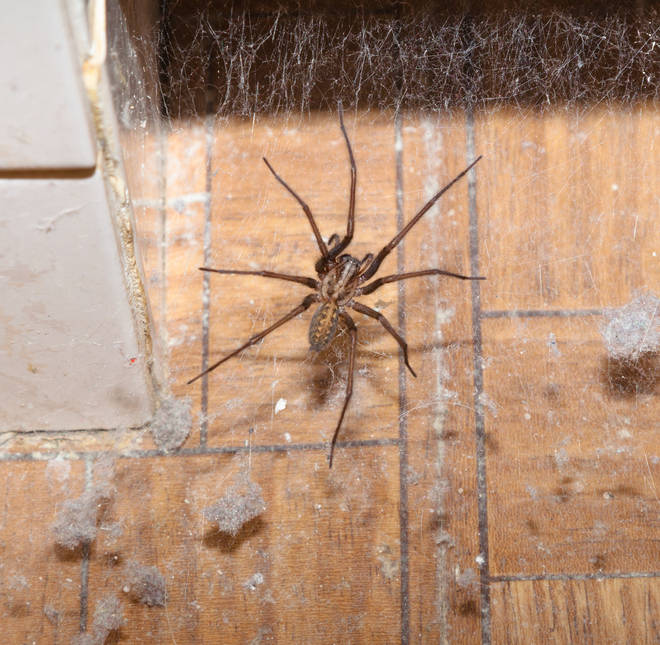 Spider season has arrived in the UK, with homes across nation being invaded by the eight-legged animals