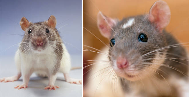 Experts have claimed rats have become more confident during lockdown (stock images)