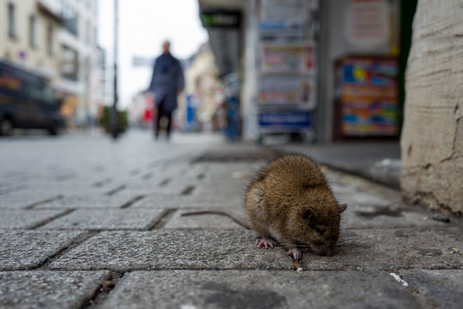 Rats have been increasingly seen during daylight during lockdown (stock image)