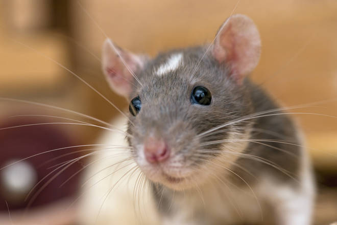 There was one case of rats entering the house through a letterbox (stock image)