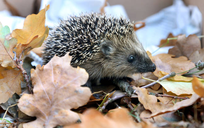 Hedgehogs are now classified as vulnerable to extinction in the UK