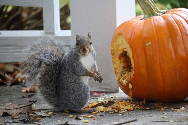Squirrels love pumpkin, and will happily eat your jack o'lantern once Halloween is over