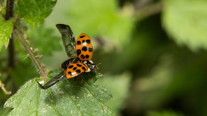 Harlequin ladybirds are identifiable by their black wings
