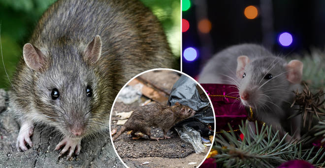 'Giant rats' could be set to invade UK homes this Christmas (stock images)