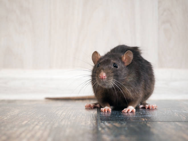 There has been an increase in rats entering homes this year (stock image)