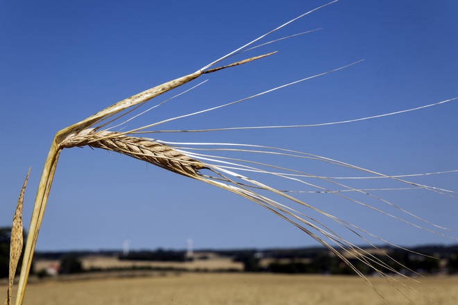 Danish Farmers Face Poor Harvest Due To Drought