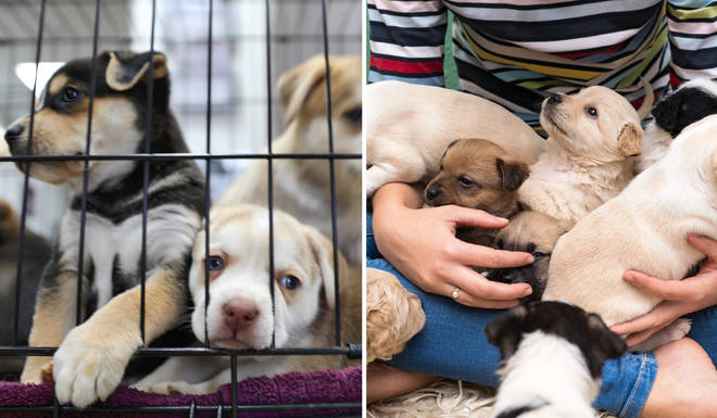 Many puppies have been 'impulsively' bought by people during the pandemic