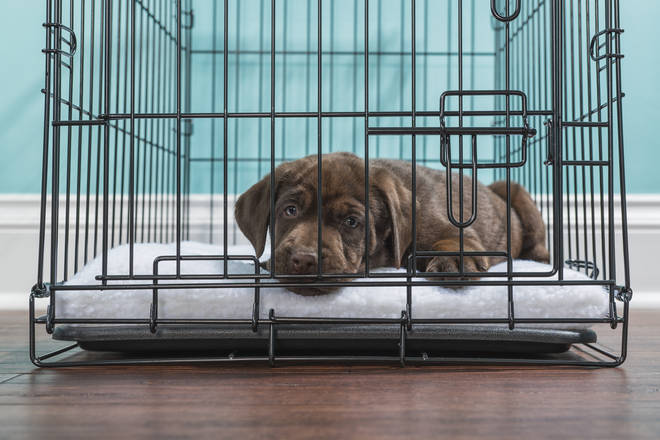 Hundreds of puppies are being sold or given to rescue homes