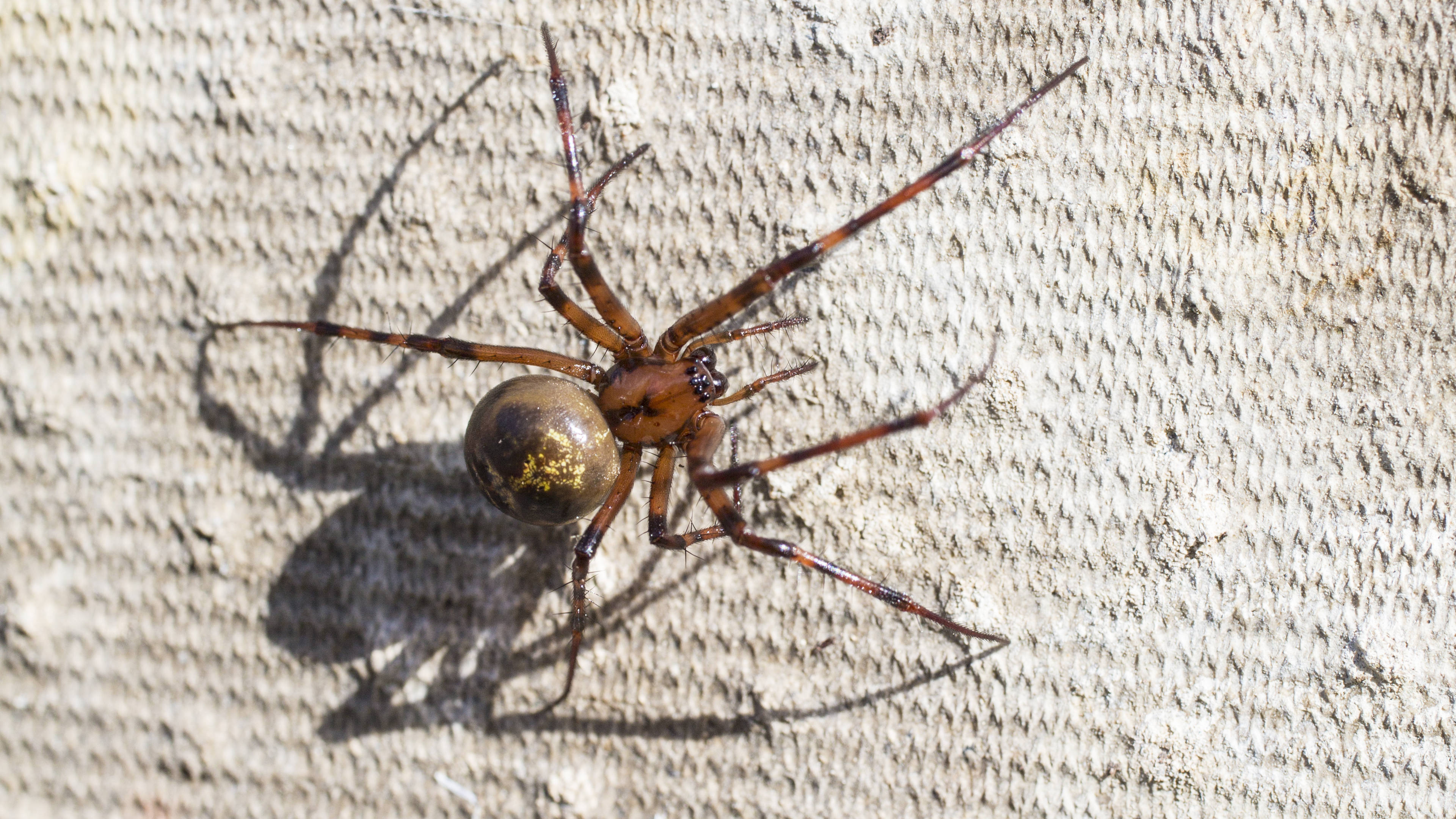 How To Spot A False Widow Britain S Deadliest Spider Is On The Rise Heart