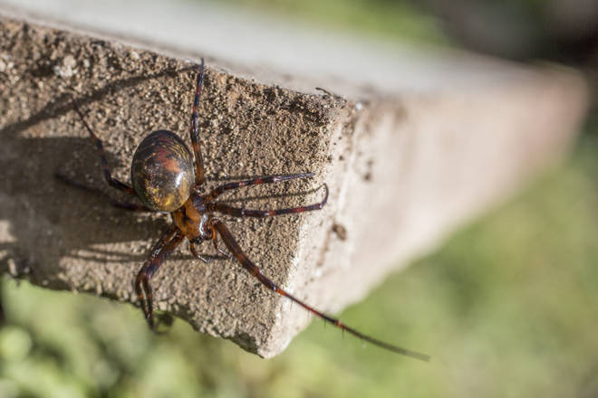 A false widow spotted in the wild