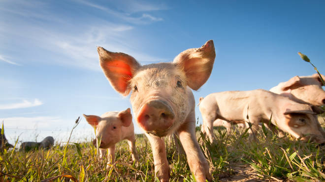 PETA wants people to stop using pig, rat and snake as insults
