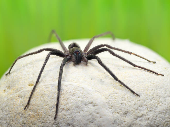 The Segestria Florentina spider species is not native to the UK