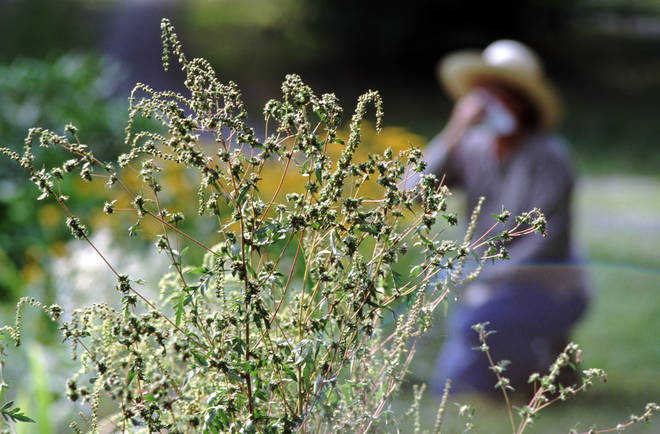 Hay fever could be an issue for sufferers