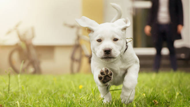 A boy from the US asked to walk his neighbour's new puppy (stock image)