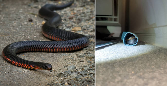 The red-bellied snake has been safely rehomed (left: stock image)
