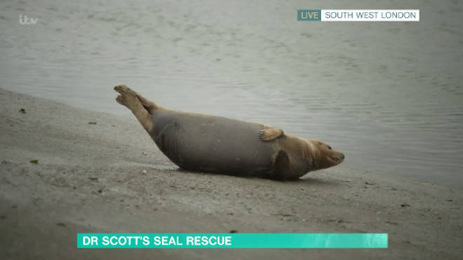The urinating seal has become a local celebrity after she started appearing at the same area of the Thames in South West London