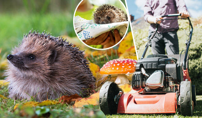 Hedgehogs are at risk more than ever as Brits return to tidying up their gardens